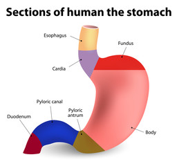 anatomia topografica a stomacului