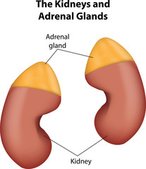 imagine cu anatomia topografica a rinichilor si a glandelor suprarenaliene