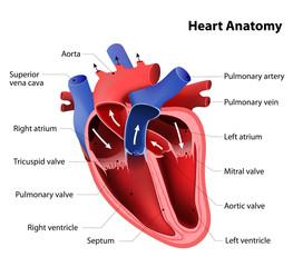 Anatomia cordului