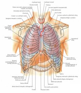 Anatomia plamanilor