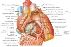 ventriculul drept