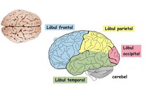 Impartirea anatomica a lobilor cerebrali