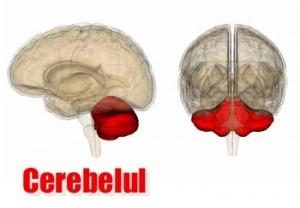 cerebelul este responsabil de vedere ce virus la vedere