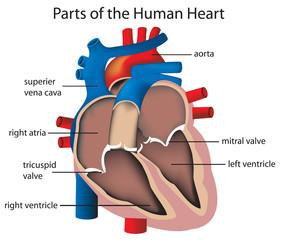 Artere pulmonare varicoase