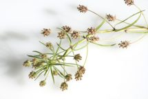 Agiocur seminte de psyllium