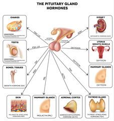 imagine cu glanda hipofiza numita si glanda pituitara