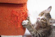 Bartoneloza - boala transmisă de zgârietura de pisică