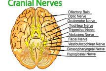 nervii cranieni sunt in numar de 12