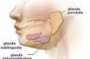 Glandele salivare - noțiuni de anatomie