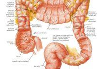 Intestinul gros