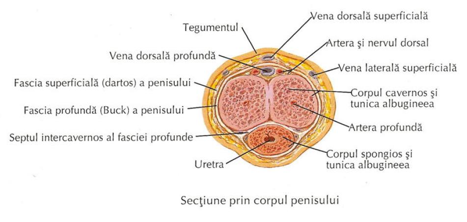 forma penisului)