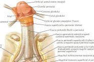 anatomia penis