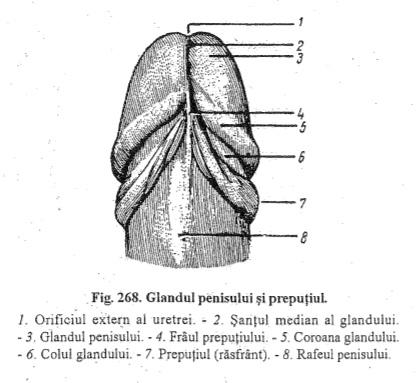 diagrama structurii penisului