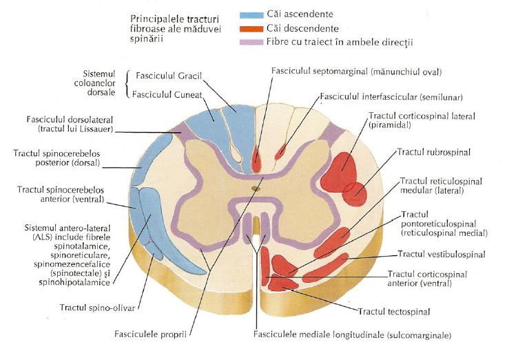 Boli maduva spinarii
